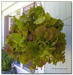 Hanging lettuce basket. I also grow Tumbler tomatoes which Cascade over the basket and looks fabulous...and tastes delish...!