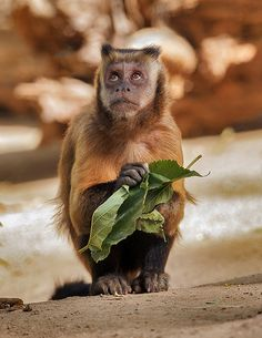 Pinned on YOUR favourite WILDLIFE Tufted Capuchin by day1953