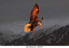 Find the perfect eagle springs stock photo. Bald Eagle Feather, Eagle Feathers, Flight Wings, Bird Wings, Alaska, Freedom, America, Stock Photos, Mood