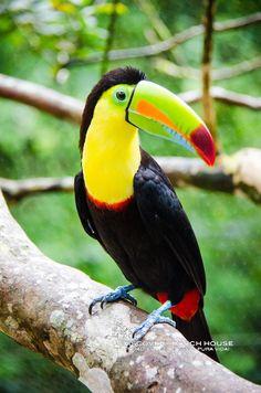 Keel billed toucan #paradiseawaits