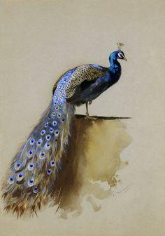 The Athenaeum - A Peacock (Archibald Thorburn - )
