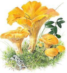 Vielä ehdit metsään: Näin löydät sienet Stuffed Mushrooms, Junk Journal, Plants, Animals, Stuff Mushrooms, Animales, Animaux, Scrapbooking, Animal