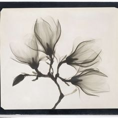 Magnolia Branch with Four Flowers, anonymous (possibly), 1910 - 1925 - Rijksmuseum