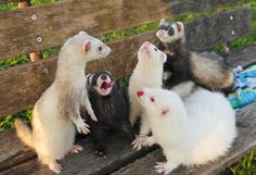 Ferret Meeting Derailed By Personal Stories