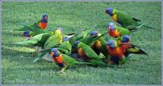 Rainbow Lorikeets in our backyard