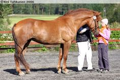 Finnhorse - mare Timmari