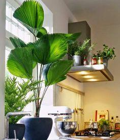 Licuala é uma das plantas para decorar o apartamento com muita elegância e bom gosto