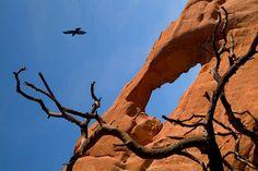 Raven flies above Skyline Arch. Arches National Park, Utah, USA