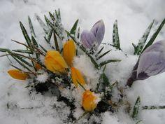 Wyszedł spod śniegu krokus  jak promyk słońca z obłoku.  Rozejrzał się wokoło  i powiedział wesoło:                                                             - Jak tylko trochę podrosnę,  zrobię w Bieszczadach  prawdziwą  WIOSNĘ                                                          Z A P R A S Z A M Y
