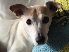 Cooper, the sweet face of a Jack Russell that has loved and been loved for many years.