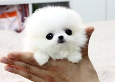 White Micro Teacup Pomeranian, ie, white poof-ball of cute.