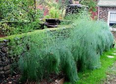 Edible plants to replace typical Japanese-Garden plants - asparagus