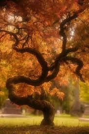 Dragon tree (120 year old Japanese maple) at the Portland Japanese Garden in Oregon - Google Search