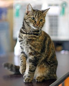 Adult | European Shorthair.