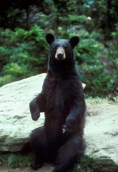 Sitting bear!