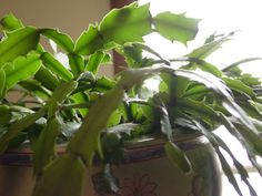 t uncommon to notice a Christmas cactus with yellow leaves. Why do Christmas cactus leaves turn yellow? There are several possible reasons for yellow Christmas cactus leaves. Learn more about it in this article.
