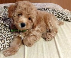 poodle on the bed
