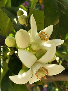 Tutti i fiori degli agrumi (genere citrus) sono incredibilmente dolci, per la vista quasi stucchevoli. Ancora più dolci i fiori dell'ibrido più ricercato, il limone, anche per il contrasto con la proverbiale asprezza del frutto. I fiori degli agrumi hanno per me un aspetto quasi irreale, forse perchè, anche se li conosco bene da sempre, non [...]