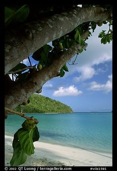 Picture/photo (Beach Scenery): Noni tree (Morinda citrifolia) and beach, Maho Bay. Virgin Islands National Park, US Virgin Islands. Virgin Islands National Park, Jacques Yves Cousteau, Countries In Central America, Beach Scenery, Us Virgin Islands, Island Nations, Us National Parks, Black And White Pictures, World Heritage Sites
