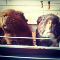My guinea pigs ♥ cavy