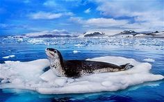 A leopard seal on an ice floe