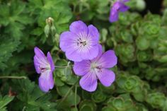 Geranium X 'Rozanne':  Deer Resistant Now considered one of the longest-blooming Geraniums introduced, expect large violet-blue flowers with a tiny white center from June to frost.