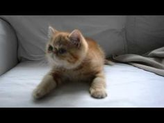 Exotic shorthair kitten growling when he gets feather toy. - YouTube