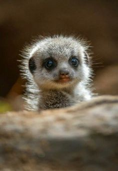 "A Young Meerkat ""Pup."" An adult female Meerkat has an average of three 'Pups' in each litter. <---- cute!"
