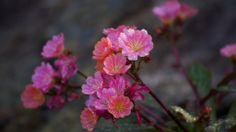 Bilderesultat for steinbedsplanter Floral, Nature, Flowers, Plants, Dan, Gardens, Crochet, Naturaleza, Outdoor Gardens