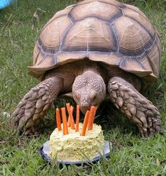 For a tortoise, this cake marks another year. Maybe it needs to be digested slowly, but the fellow has a lot of time.