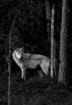 wolf-heart.