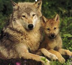 Wolf family - Wolf Advocates Working to save the wolves in America