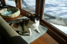 KC is an adoptable Calico Cat in Sheboygan, WI. Hello my name is KC, meaning 'Kuwait Cat'. I was born in 2005. I came from Kuwait brought over by a relative of a serviceman. Once in the states, I ende...