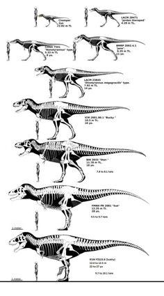 Tyrannosaurus specimens arranged by size with ages included. - tyrannosaurus post - Imgur Tyrannosaurus Rex, Dinosaurs, Viral Videos, Trending Memes, Funny Jokes, Hair Accessories, Husky Jokes, Hair Accessory, Jokes