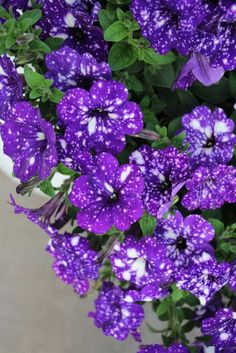 Petunia Night Sky from Selecta
