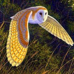 Beautiful flying owl