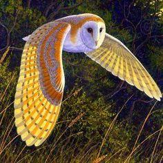 Beautiful flying owl