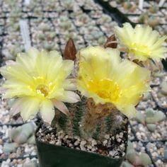 ECHINOPSIS LEUCOMALLA COB CACTUS CACTUS CACTI SUCCULENT REAL LIVE PLANT