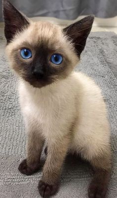 Siamese Kittens, Baby Kittens, Cute Cats And Kittens, Kittens Cutest, I Love Cats, Pretty Cats, Beautiful Cats, Animals Beautiful, Cute Cats Photos