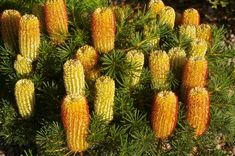 The hairpin banksia (Banksia spinulosa) is a species of woody shrub, of the genus Banksia in the family Proteaceae, native to eastern Australia. Australian Native Garden, Australian Plants, Flora Flowers, Fall Flowers, Pretty Flowers, Coastal Gardens, Small Gardens, Low Growing Shrubs, Cactus