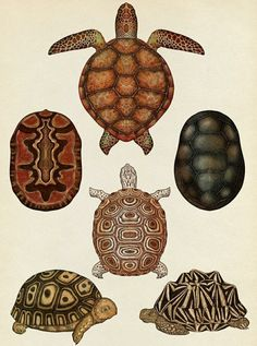 Turtles, Tortoises and Terrapins - Animalium, illustration by Katie Scott Botanical Drawings, Botanical Illustration, Illustration Art, Desenho Tattoo, Poster Prints, Art Prints, Posters, Wildlife Art, Wall Collage