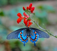 Types of Butterflies - Butterflies are one of the most adored insects for their enchanted beauty and representation of good luck and positive change. Most Beautiful Butterfly, Beautiful Bugs, Beautiful World, Stunningly Beautiful, Butterfly Wallpaper, Butterfly Flowers, Blue Butterfly, Types Of Butterflies, Flying Flowers