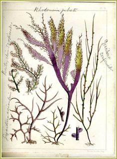 """GracilariaLandsboroughBlog7 Illustration of Gracilaria confervoides seaweed (shown on far right of the page) from the book """"Popular History of British Seaweeds"""" by the Rev. Landsborough published in1857 (7)"""
