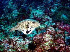 Andaman- Puffer Fish