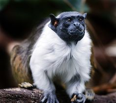 The Pied Tamarin (Saguinus bicolor) has one of the most limited ranges of any primate in the world. This Endangered species lives mostly in and around the Brazilian city of Manaus in the heart of the Amazon rainforest. Habitat destruction is the main threat to the Tamarin's survival.