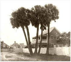 """Five palmettos on Sullivan's Island that were known as the """"Five Indians."""" These trees were regarded as the center of town (Moultrieville). Sign says """"Family Grocery."""" """"Five Indians"""" Palmettos, photo by Osborn & Durbec, July"""