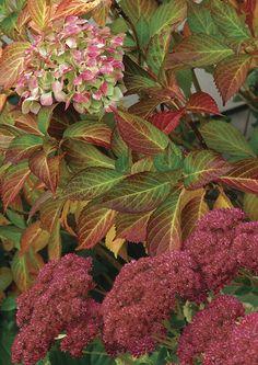 'Madame Emile Mouillère' hydrangea (Hydrangea macrophylla 'Madame Emile Mouillère', Z 6–9)  2. 'Autumn Joy' sedum (Sedum 'Autumn Joy', Z 3–11)