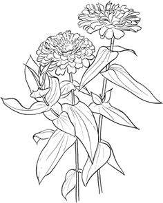 Click to see printable version of Zinnia Elegans coloring page