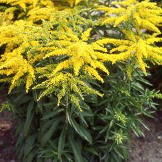 SOLIDAGO 'Strahlenkrone' (Verge d'or) : Robustes et peu exigeantes, elles acceptent bien les sols ordinaires et résistent au sec. Ce sont pourtant les terres fraîches qu'elles préfèrent. Les plantes proposées ne sont pas envahissantes. Touffe très compacte de rameaux horizontaux. Belles inflorescences denses, hâtives, jaune d'or pouvant faire d'excellentes bases de composition florale.