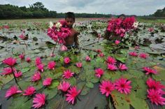 Do you love water lily? then enjoy the awesome view of water lily flower in Bangladesh. Kerala India, South India, India India, Incredible India, Amazing Nature, Monuments, Namaste, Beautiful Flowers, Beautiful Places